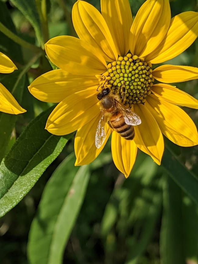 A honeybee on a wild sunflower